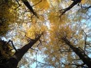 世田谷公園銀杏の木